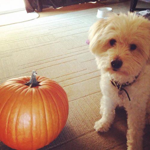 dogs love pumpkin