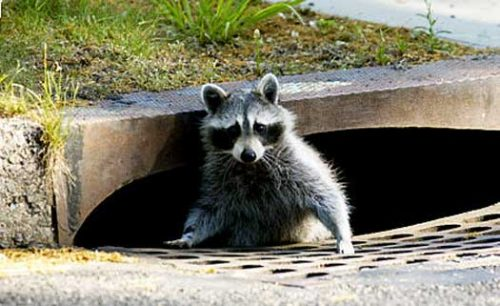 raccoons in central Phoenix?