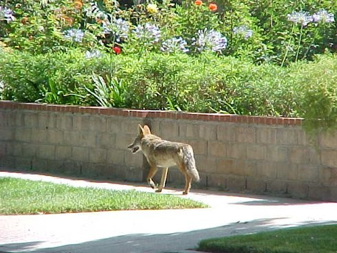 coyotes in central phoenix
