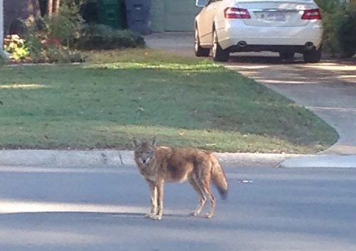 coyote in central Phoenix