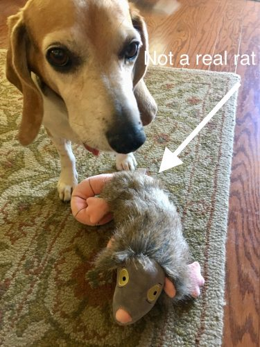artie and the faux roof rat